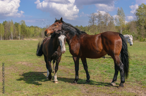 Valokuva Two bay horses graze in the meadow.