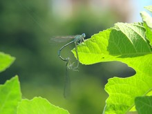 Close-up Of Damselflies Mating...