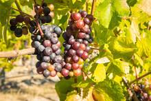 Bunches Of Shiraz Grapes Ripen...