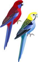 Vector Australia Parrots Pale-headed Rosella And Crimson Rosella