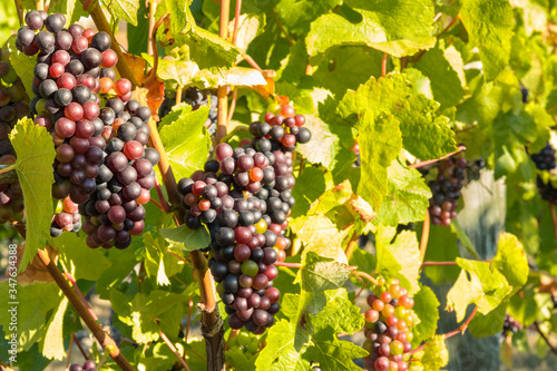 Fotografie, Tablou bunches of Pinot Noir grapes ripening on vine in vineyard at harvest time