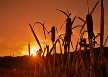 Cattail Growing On Field Against Sky During Sunset