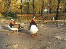 Ducks On Riverbank