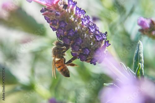 Bee Feeding atop of Purple Lavender plant. Wallpaper Mural