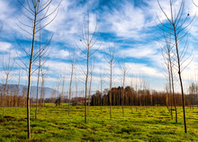 An Autumn Day In A Field With Very Skinny Trees In Friuli Italy