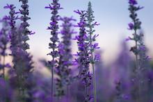 Close-up Of Purple Flowers Blo...