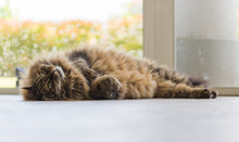 Siberian Breed Of Cat Relaxes ...