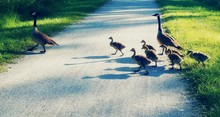 Canada Geese With Goslings On ...