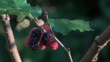 Uncultivated Wild Fruit. Different Stages Of Blackberry Ripening On A Mulberry Branch.