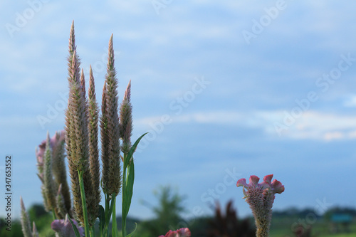 Obraz na plátně Beautiful pink chicken cockscomb flowers blossom in field with bright blue sky background