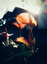 Close-up Of Orange Calla Lily Blooming Outdoors