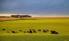 Herd Of Cows Grazing On Field