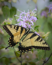 Portrait Of An Eastern Tiger Swallowtail Butterfly Feeding On A Bergamot Flower