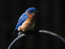 Beautiful Male Eastern Bluebir...