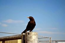 Close-up Of Blackbird Perching On Pole