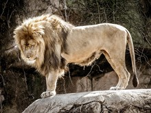 Lion Standing On Rock