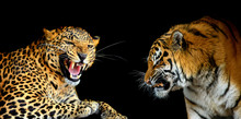 Portraits Of Two Big Wild Cats...