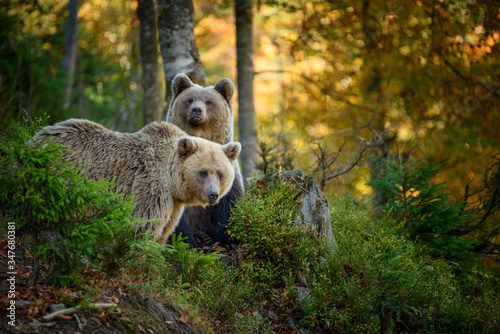 Two big brown bear in the forest Canvas Print