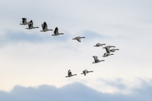 Migrating Geese Flying In V Fo...