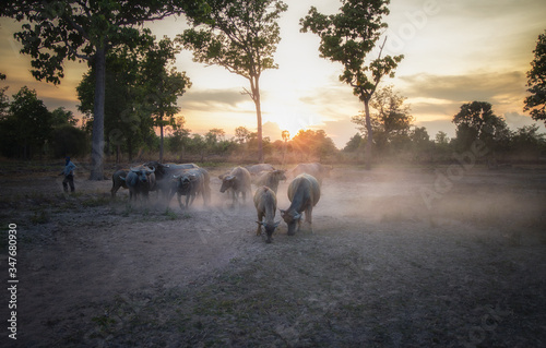 Fotografia, Obraz A buffalo herd in the Thai countryside that has been affected by a drought that