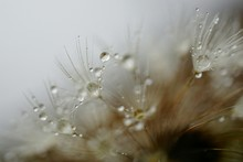 Close-up Of Dew Drops On Dandelions In Foggy Weather