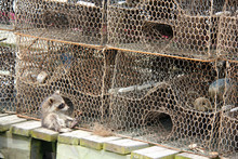 Close-up Of Raccoon By Cage