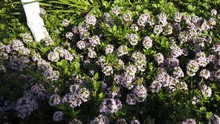 Bees Flying Over Thyme Flowers