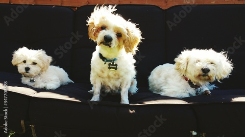 Bichon Frise Dogs Relaxing On Swing Canvas Print