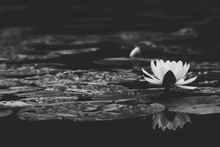 White Lotus Blooming In Pond