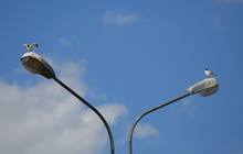 Seagulls On A Two-lamp City Lamp