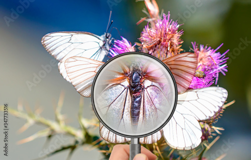 Photo White butterfly (Aporia crataegi) and flower under magnifier glass - Group of bl