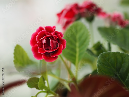 Fotografie, Obraz Red flower African Violet, SaintpauliasIssued, Gesneriaceac flower into a tight