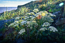 White Wildflowers Among Grass ...