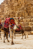 Bactrian camel with colorful saddle near Great Pyramids of Giza in Cairo, Egypt