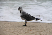 Side View Of Black-headed Gull Preening On Shore At Beach