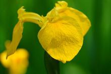 Wild Yellow Iris Flower