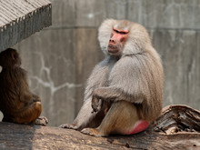 Male Baboon Sitting And Enjoy Sunlight With Baby Baboon.