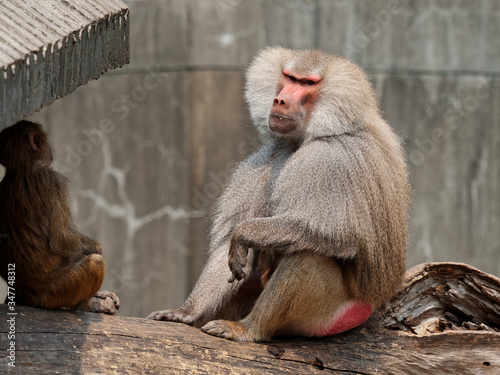 Photo Male baboon sitting and enjoy sunlight with baby baboon.