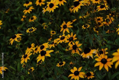 Fotografie, Tablou Black-eyed Susan Growing On Field