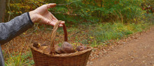 Panoramic Image Of Mushrooms Picking - Harvesting. Hand Of Man Holding Basket Of Mushrooms. Boletus Badius, Imleria Badia Or Bay Bolete Mushroom, Mushrooming Season, Autumn Harvest Edible Fungi