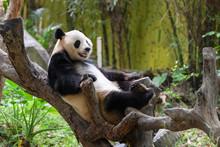 Cute Panda Resting On The Tree