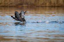 Black Headed Goose