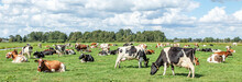 Group Of Cows Grazing In The Pasture, Peaceful And Sunny In Dutch Landscape Of Flat Land Panoramic Wide View