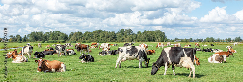 Group of cows grazing in the pasture, peaceful and sunny in Dutch landscape of f Fototapete
