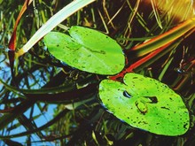 Lily Pads Floating On Pond