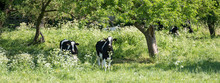 Black And White Young Cows Under Green Fresh Leaves Of Fruit Trees With Blossoming Flowers In Spring Meadow