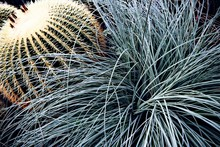 High Angle View Of Golden Barrel Cactus Growing Outdoors