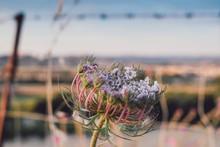 Daucus Carota - Wild Carrot Purple With Sea And Mountain Background On The Sella Del Diavolo, Cagliari