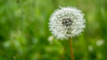 White Dandelion On Grass Backg...