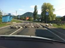 Ducks Crossing Road Seen Throu...